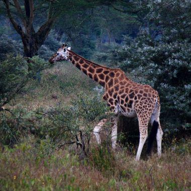 A lone giraffe in Kenya