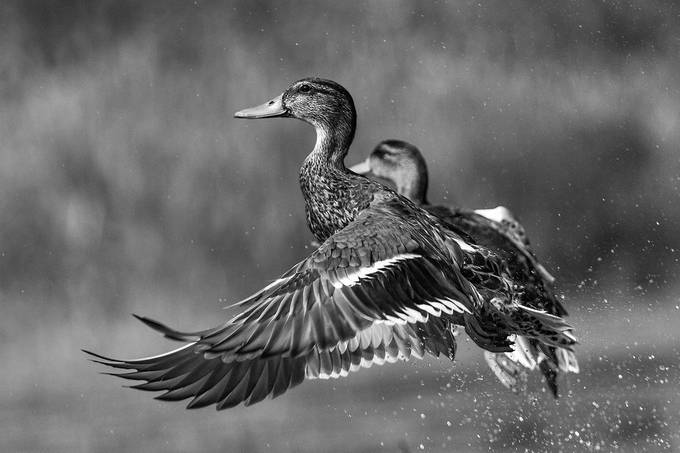 Ducks by bradnel - Black And White Wow Factor Photo Contest