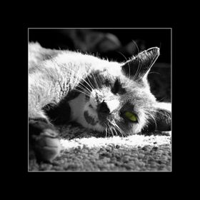 An old grey tabby keeps an eye on things while lying in the sun. Scanned from original old B&W film.