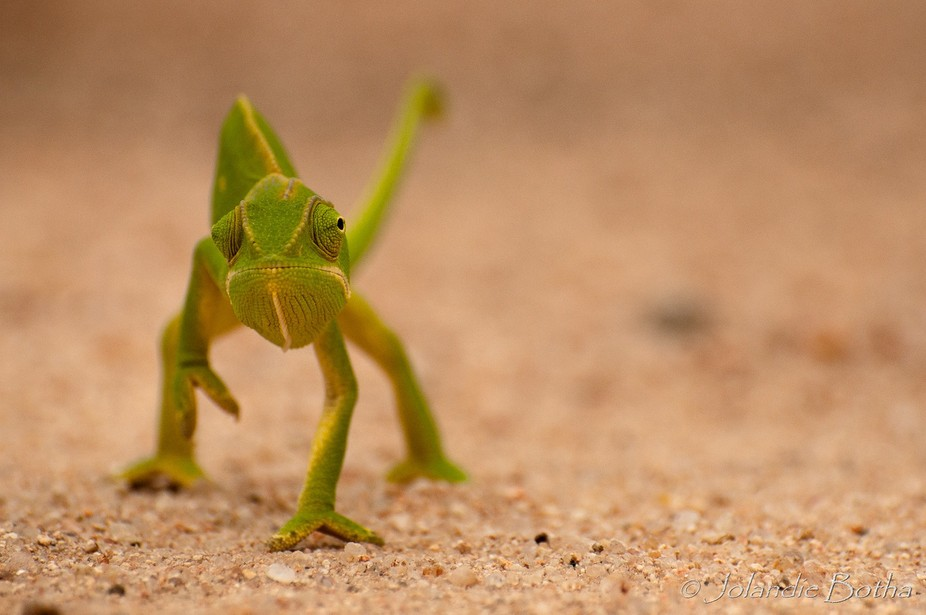 What a lovely surprise to find this chameleon crossing the road . He was walking so carefully to ...