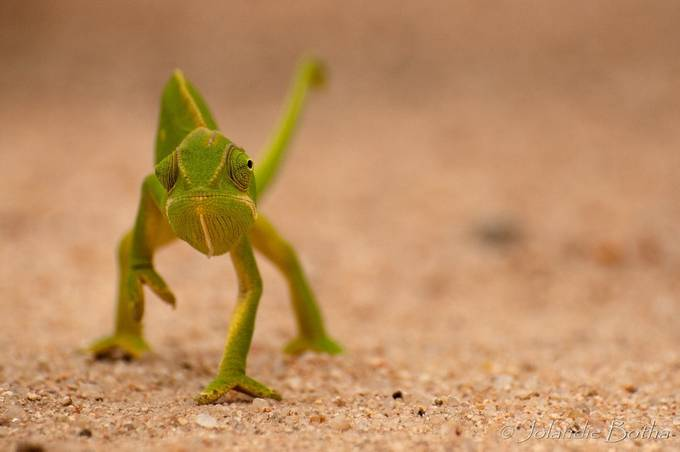 a careful stroll  across the road by jolandiebotha - Reptiles Photo Contest