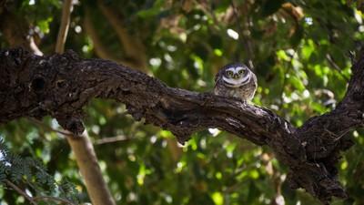 The Owl Stare-1
