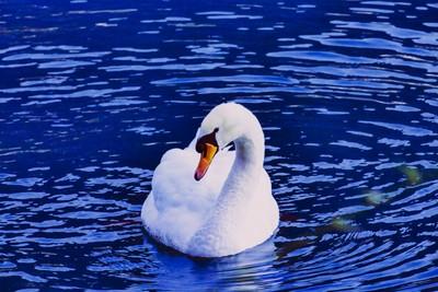 Swan Montreaux