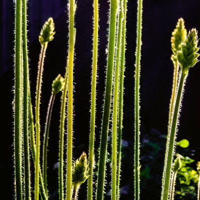 Weed in Backlight