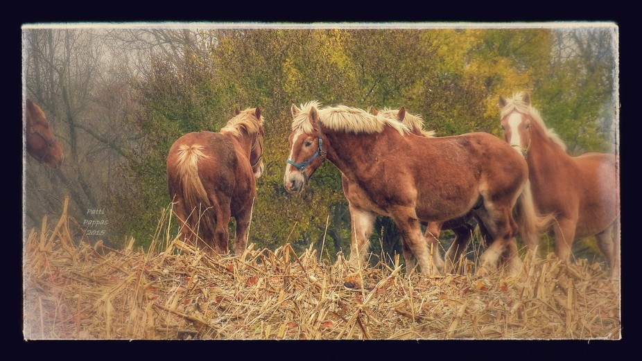 Horses in the field after a hard day's work in Nashville, Mi