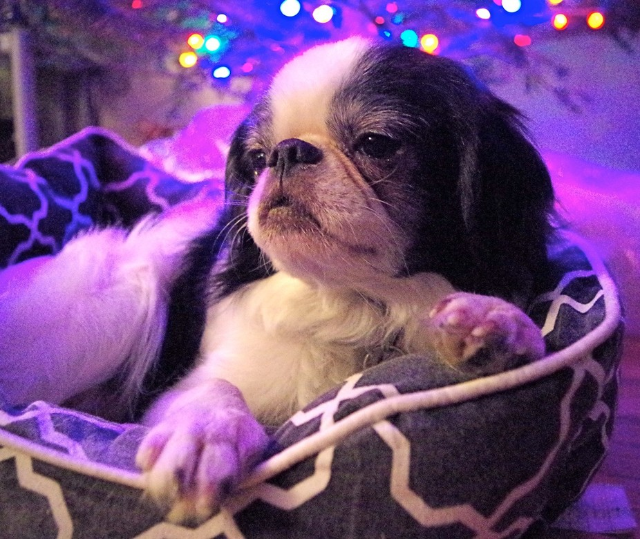 The cutest sweetest dog ever! He is a Japanese Chin who was abandoned. Because he grew too big to...