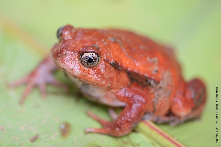 Tomato Frog -  ( Dyscophus antongilii - Madagascar ) When threatened, a tomato frog puffs up its ...