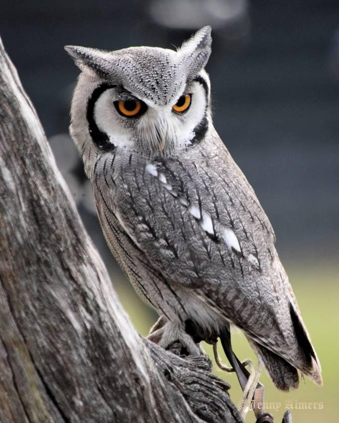 White-faced Scops Owl on tree trunk