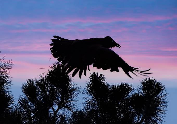 Crow takes off fro the top of an old pine tree by my house.