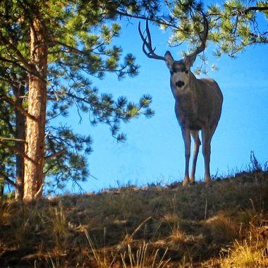 A curious Colorado buck at sunset near Woodland Park, Colorado