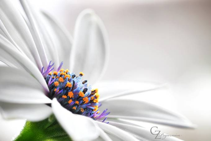 White flower by Prijaznica - Beautiful Flowers Photo Contest