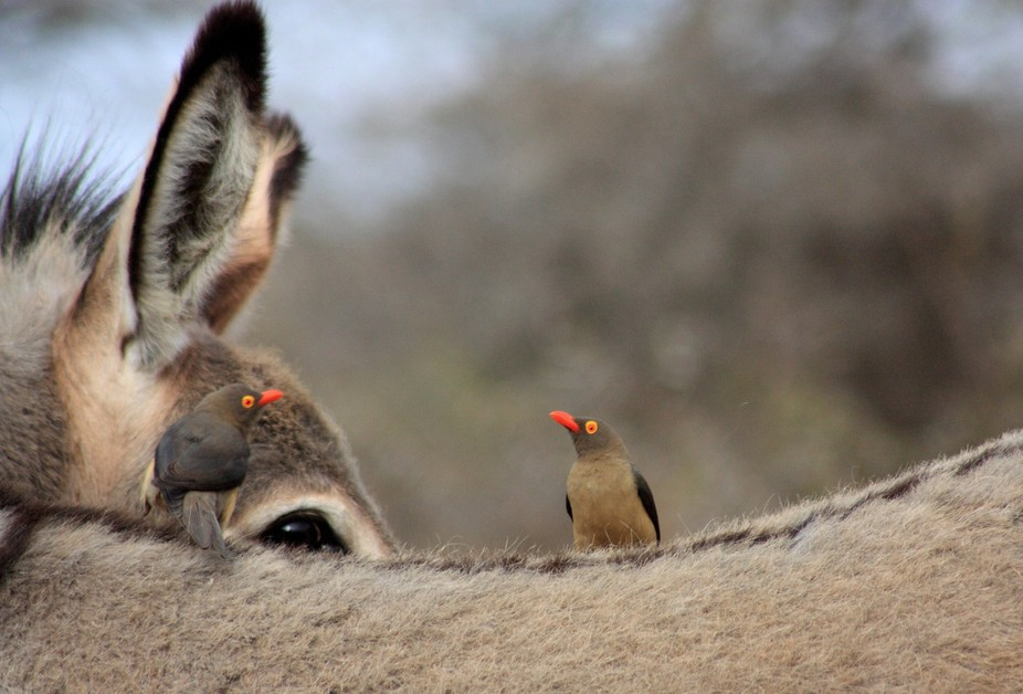 The oxpeckers were really irritating the donkey found in Dube Game Reserve, plucking out bunches ...