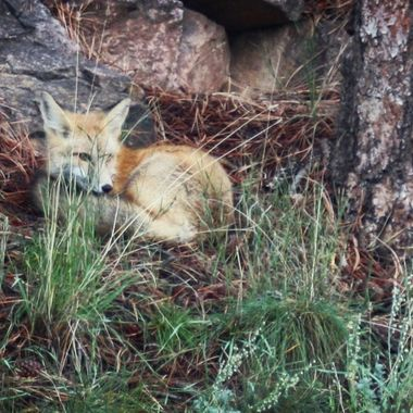 A young red fox taking a siesta near Woodland Park, Colorado