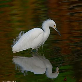 I love Egrets and I am lucky to have a reservoir just 10 minutes from my house where they congregate. It was an overcast day and the fall foliage...