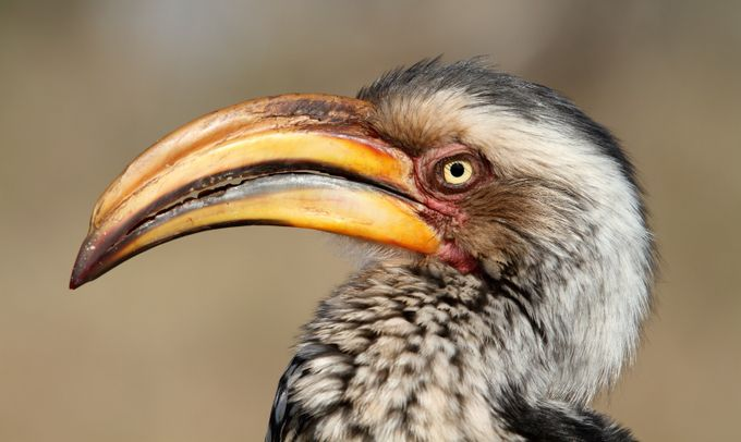 yellow-billed Hornbill by namibelephant - Animals And Rule Of Thirds Photo Contest