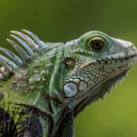 Close-up macro on a beautiful iguana. Taken at Old San Juan in Puerto Rico. This is an invading species on the island.
