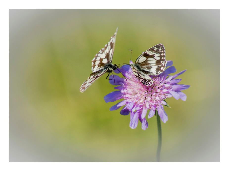 Having found an isolated flower that some marbled white butterfly's were visiting, I jus...