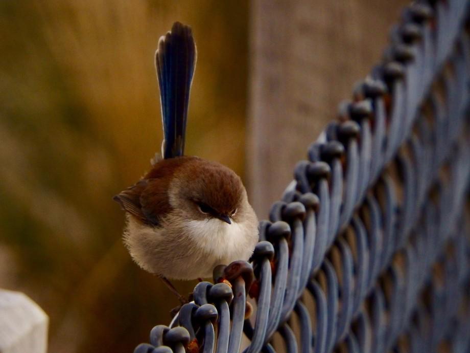 Female Blue Wren