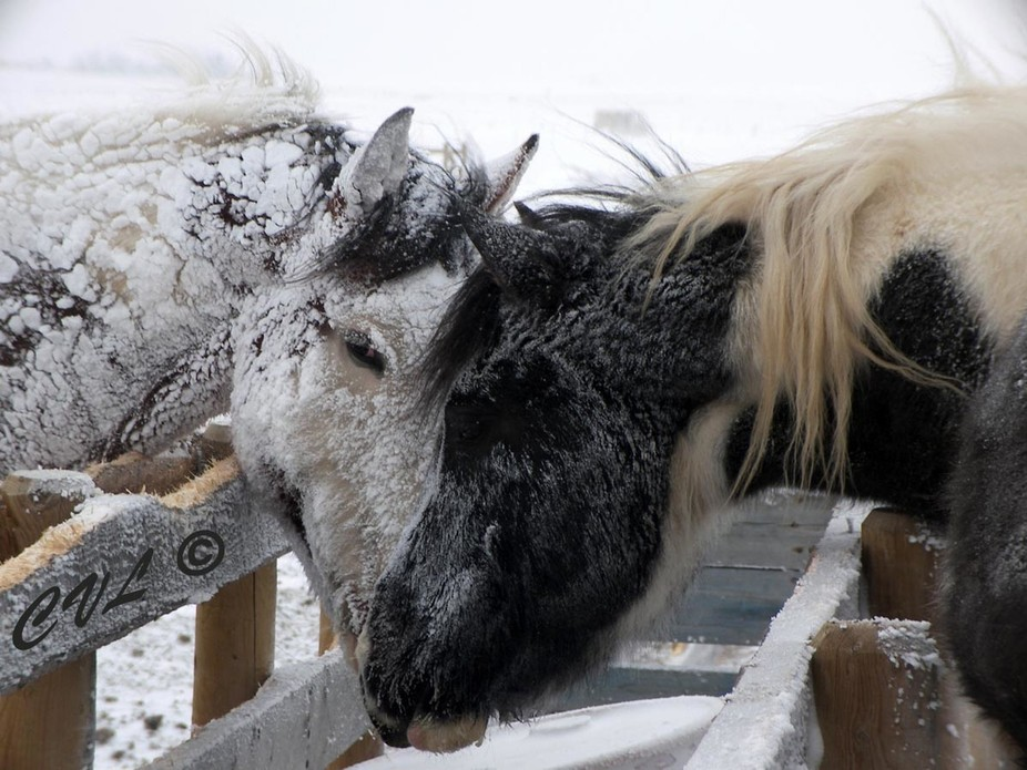 This is the calm between snow blizzards and even though these horses have shelters , they prefer ...