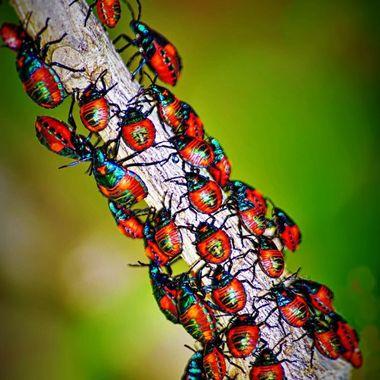 Harlequin Bug Babies