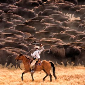 Once the large buffalo herd of 1100 animals gets moving at Custer State Park in South Dakota, the cowboys are really there just to keep them goin...
