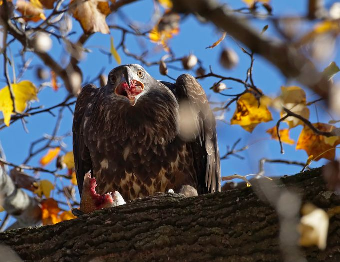 eagle feeding by bradnel - Food Chain Struggles Photo Contest