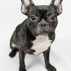 Cookie. French Bulldog. Only seems to understand Portuguese.