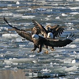 Three Bald Eagles fighting over a opening in the frozen ice