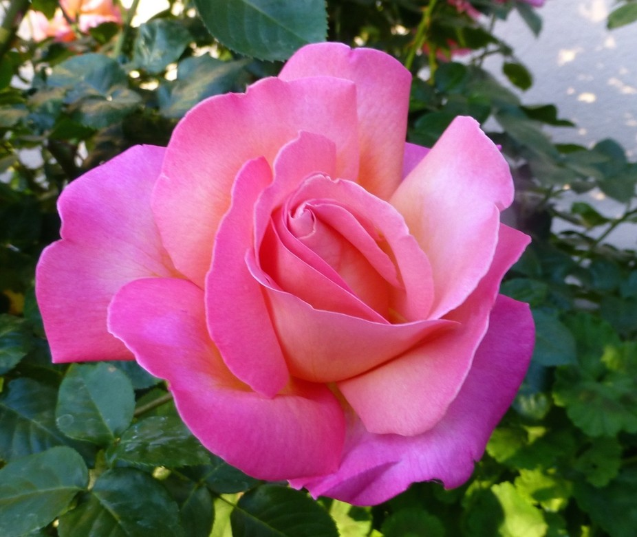 This fabulous pink rose was found on our journey out west.I know  I keep saying that now, &qu...