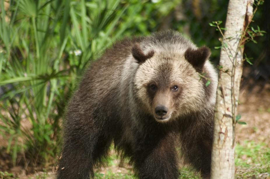Sitka the Grizzly