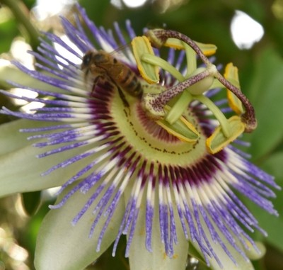 Bee in the Passion Flower