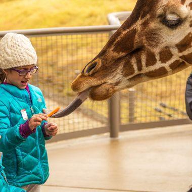 An afternoon snack for one of the Living Desert's resident Giraffes, near Palm Desert, California.