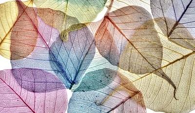 buddha tree leaves