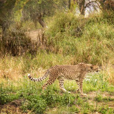 A cheetah takes a stroll at the Living Desert, near Palm Desert, California