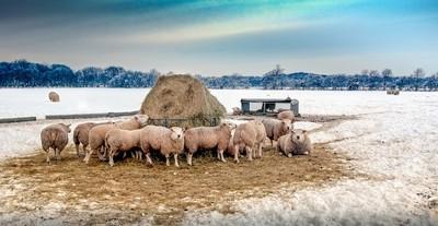 Sheep Hay & Snow