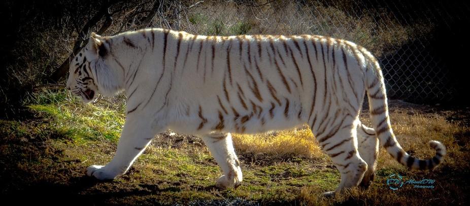 White_Bengal_Tiger