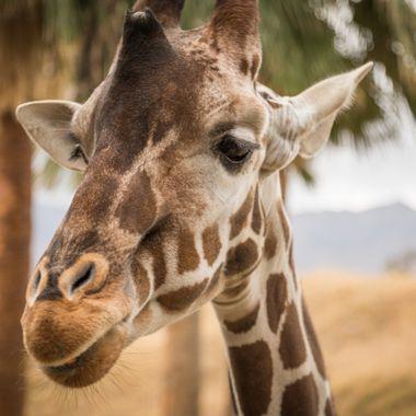 A friendly giraffe at the Living Desert, near Palm Desert, California