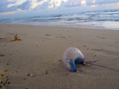 The Lonely Jellyfish