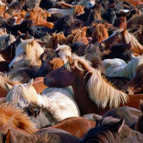 This photograph was taken during a horse round up in Iceland.