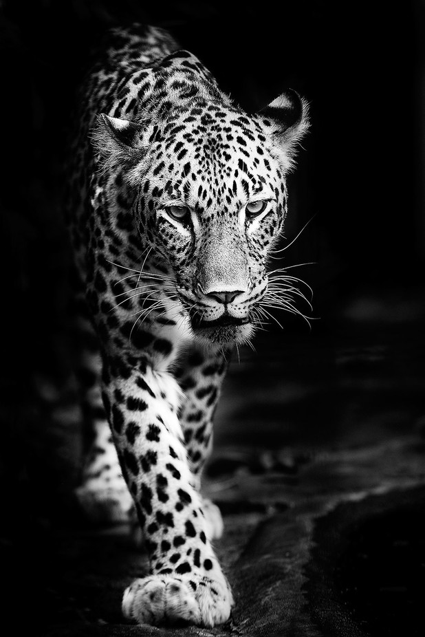 persian leopard by pixelmac - A Black And White World Photo Contest