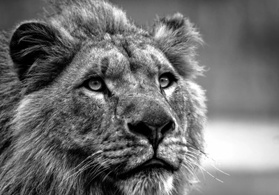 Young Lion bw copy