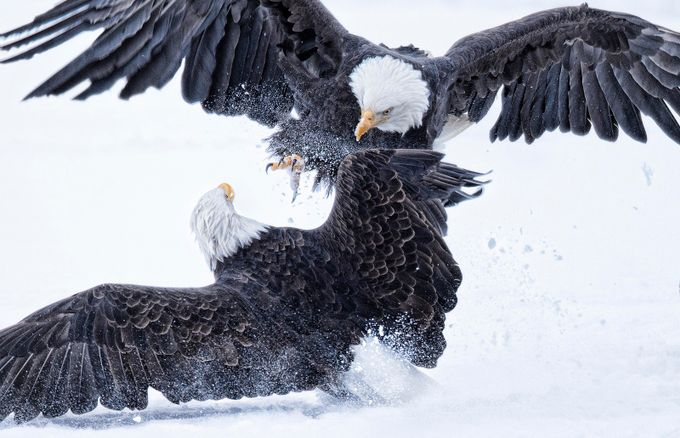Behind The Lens: Eagles In Alaska And The Intense Battle For Food During The Winter