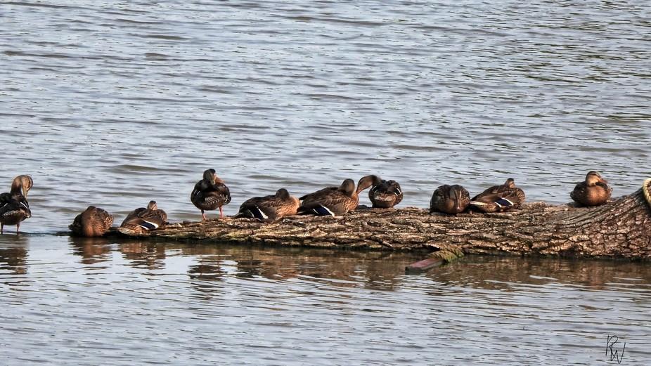 Ducks soaking up the sun on a beautiful Summer day.
