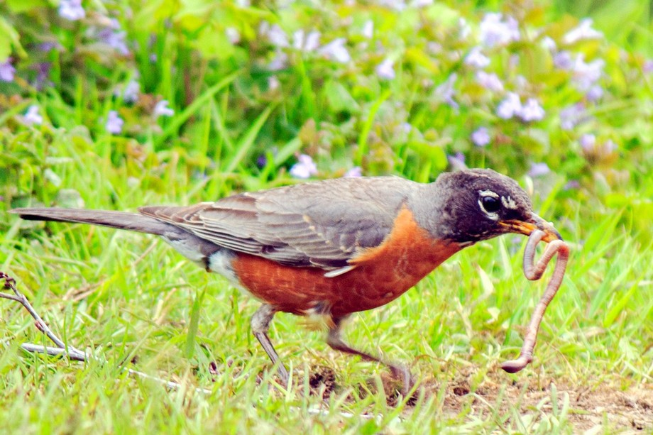 A Robin at the Almshouse Pond enjoying a treat.