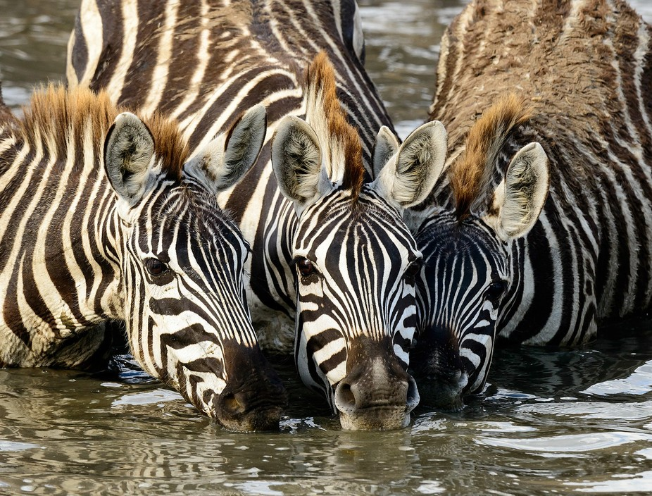 In the Serengeti, I had been trying unsuccessfully to get a shot that filled the frame (or nearly did) with stripes from multiple zebras for almost a week. It turned out to be far more challenging than I thought it would be.