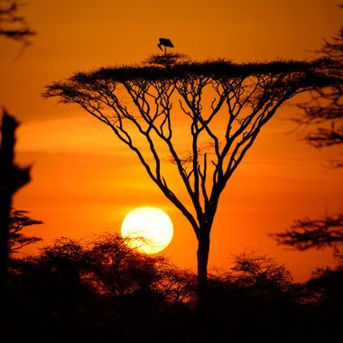 A Marabou stork stands safely atop an acacia tree at day's end.