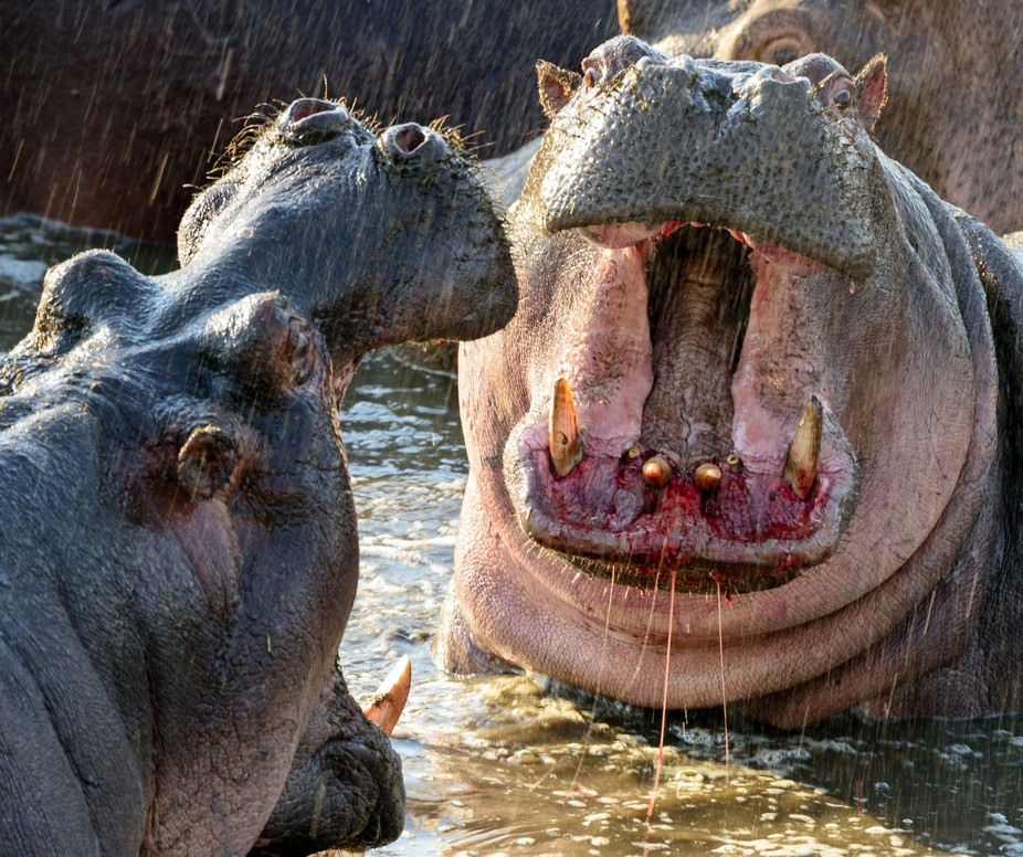 These two hippos went at each other for over 20 minutes as we watched from a viewpoint safely above the pond. The stench was almost overwhelming, but it was a small admission price to watch these giants tussle. Blood was drawn by both combatants.