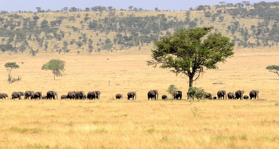 The matriarch of this herd was leading her family across the plain.
