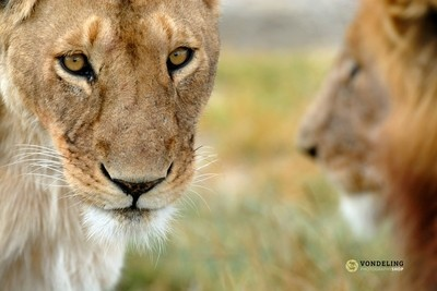 Lioness and male vague