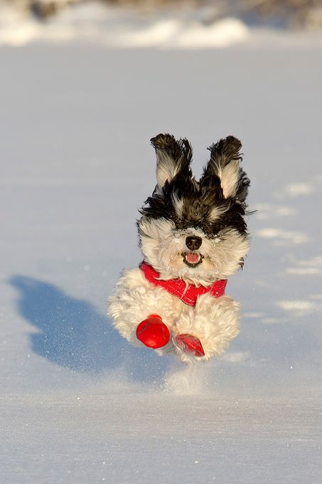 Birkie's Joy by staceystitgenmeanwell - Pets With Character Photo Contest